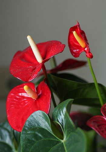Flamingo Lily Anthurium Care Info Houseplant Central Anthurium Care Anthurium Flamingo Plant