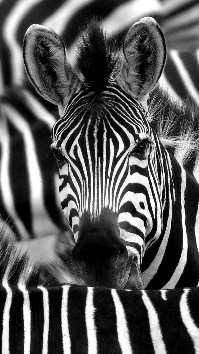 Zebra Face Closeup Iphone 5s Wallpaper Zebra Face Zebra Wallpaper Zebra