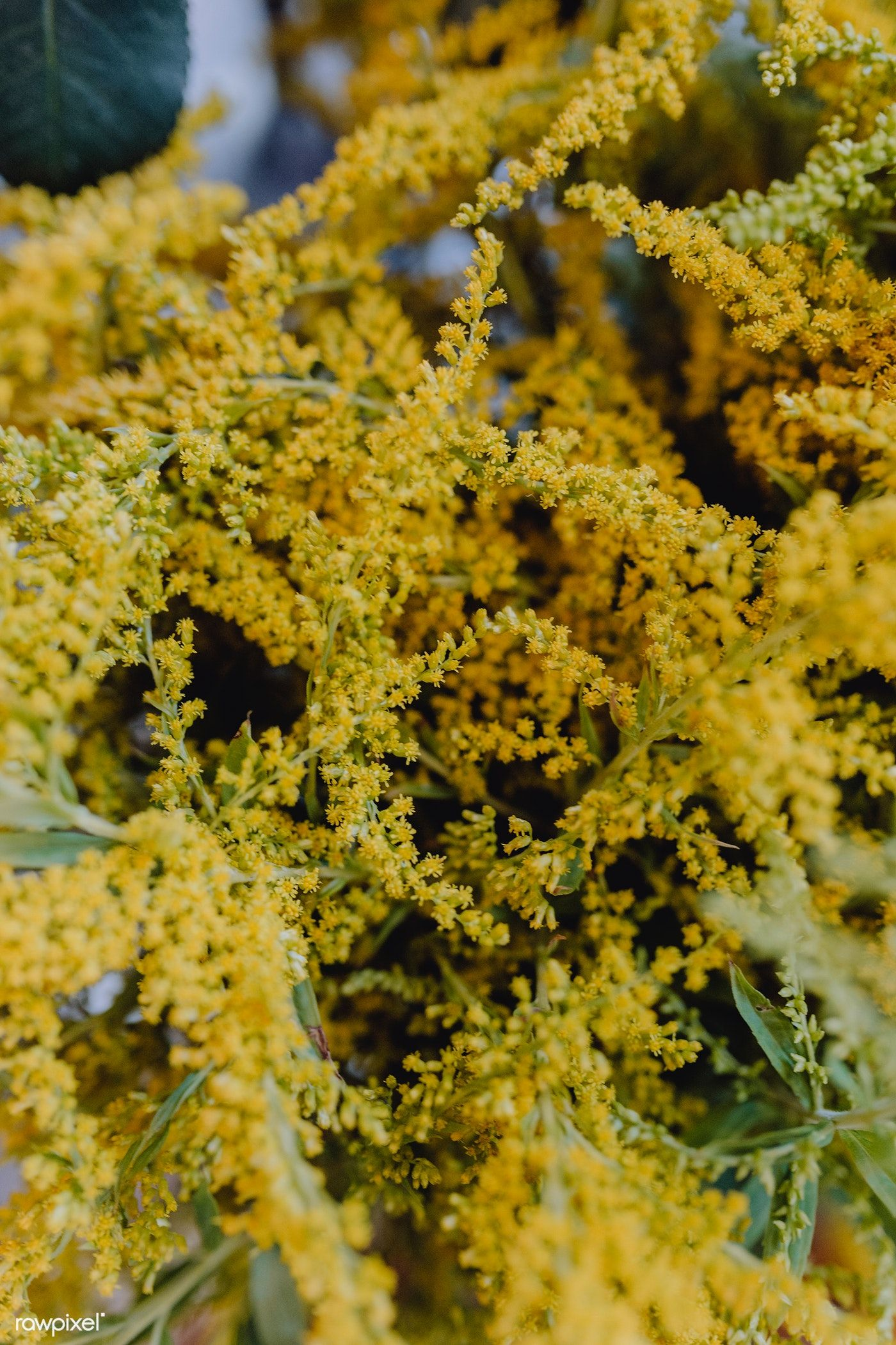 Download Premium Photo Of Closeup Of Yellow Mimosa Flowers 540935 ม ร ปภาพ