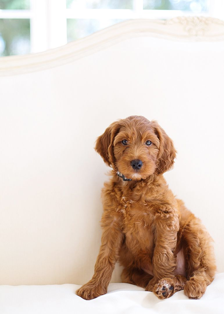 Ella S First Picture Goldendoodle Puppy For Sale Goldendoodle Puppy Goldendoodle Breeders