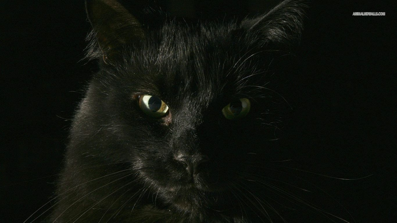 Black Cat Wallpaper HD Angry 1100