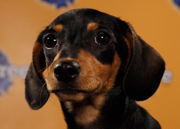 Puppy Bowl Player 2012 - Oscar Dachshund