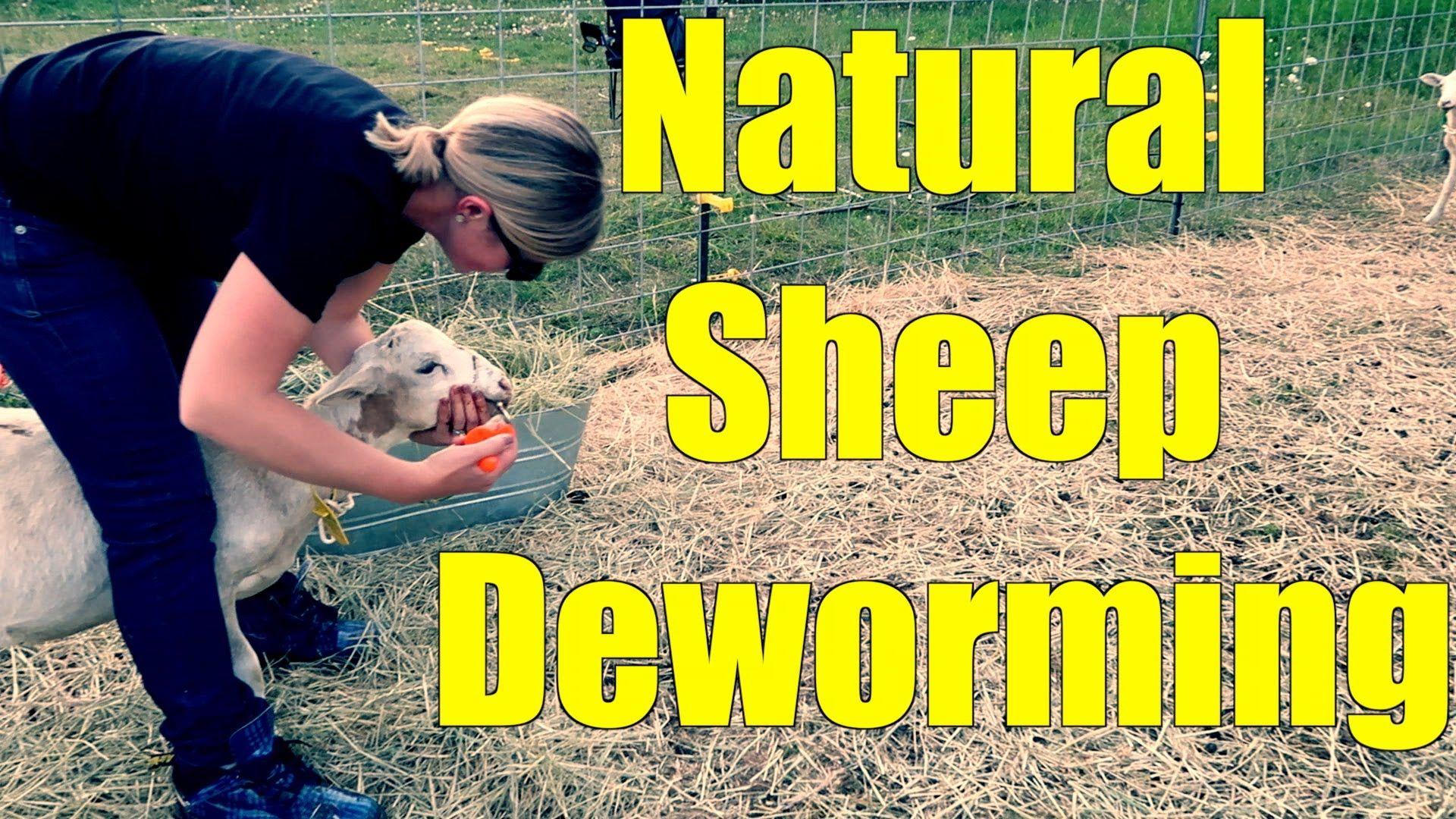 Deworming sheep the natural way youtube sheep nature