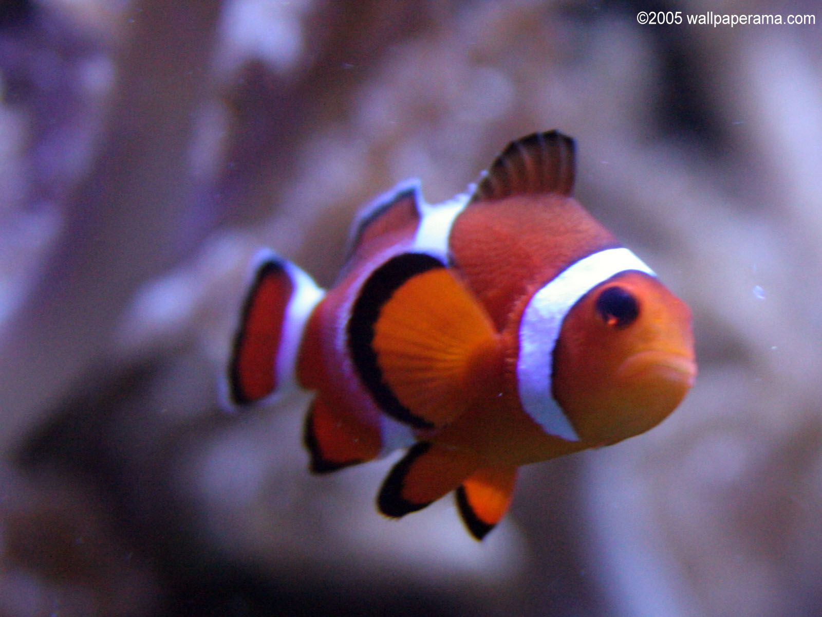 Clownfish Wallpapers Android Apps on Google Play | r72 Wallpapers HD ...