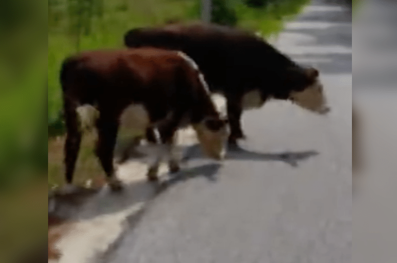 Video of Maine Cop's 'Cow Arrest' Goes Viral