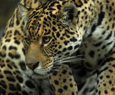 Female Jaguar By Fridooh