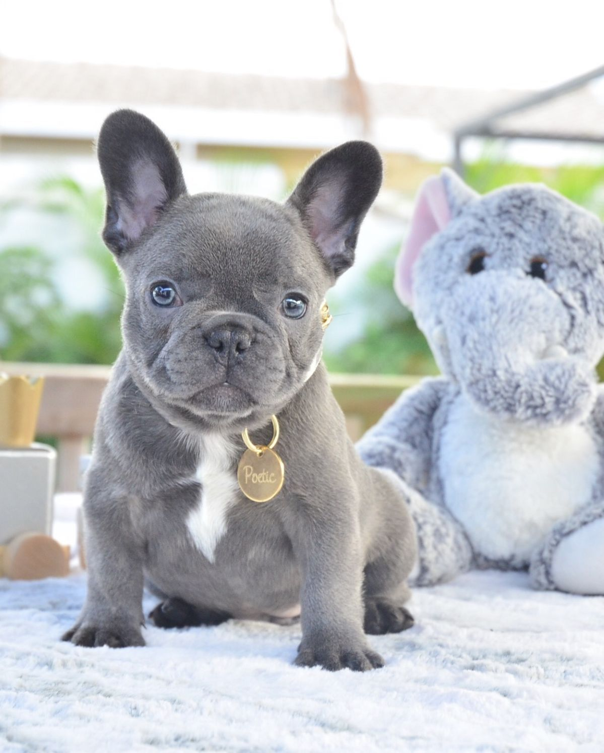 Pin by Jodi on Diva Pups French bulldog puppies