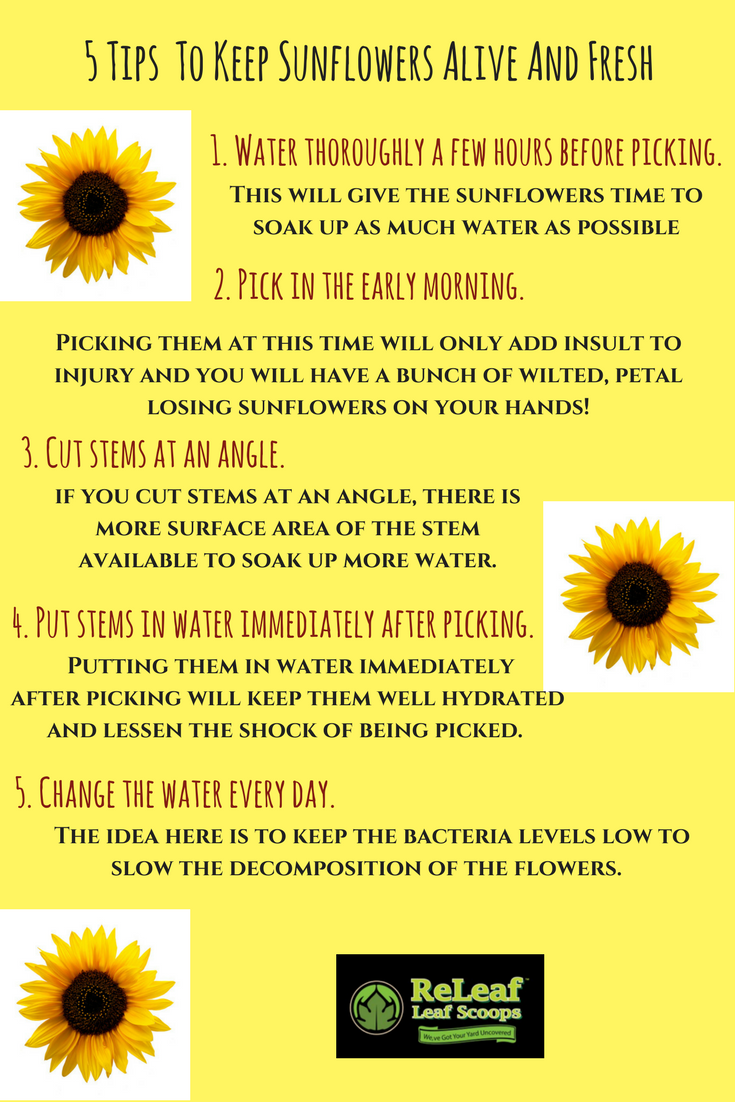 Keep Your Sunflowers Live Longer Here S How Sunflower Plantcare Flowercare Flower Care Plant Care Sunflower