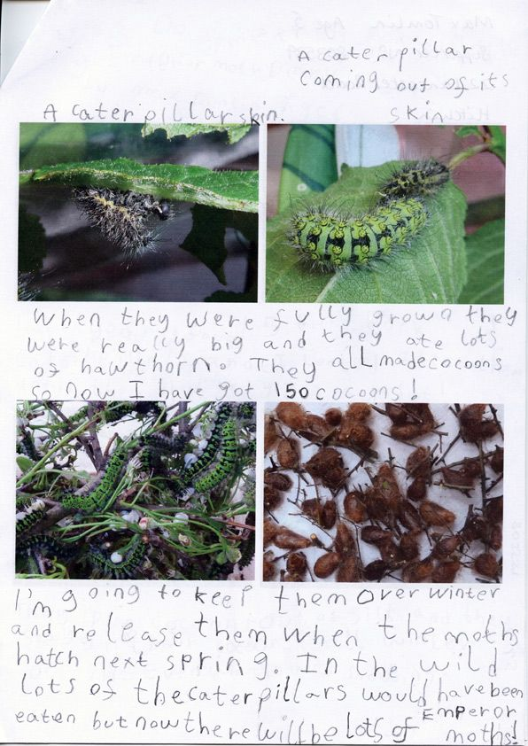 Max Tomlin (5) raised 150 emperor moth caterpillars from eggs and kept a diary of his work over the past year. Yes, you did read that right -- 150!  -- Suzie (BBOWT). Read more about the competition: http://www.bbowt.org.uk/stevebackshallcompetition