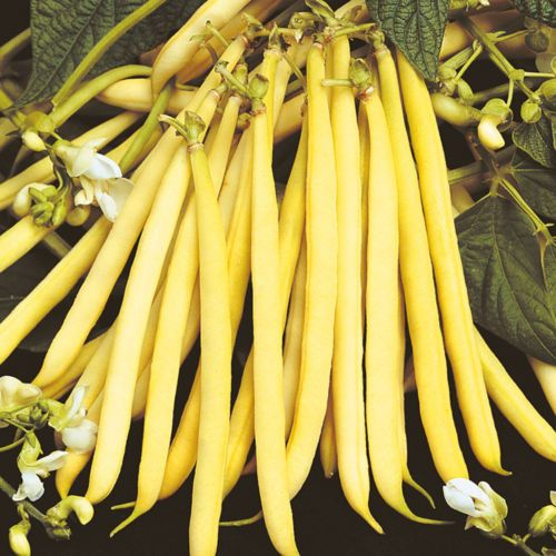 Yelow Dwarf French Bean Rocquencourt One Of The Finest 400 x 300