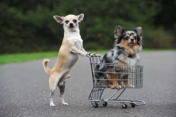 Chihuahua Frivel Pushes Friend Merlian In A Mini Shopping Trolley Treptow Park Berlin Germany Rex Action Press Funny Animals Cute Dogs Cute Animals
