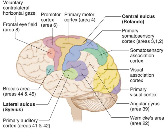 Cortex kaplan qbank neuro pinterest cortex ccuart Choice Image