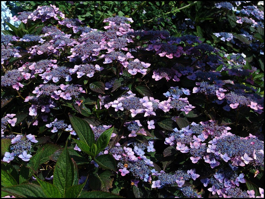 Hydrangea Hortensia Seratta Bluebird