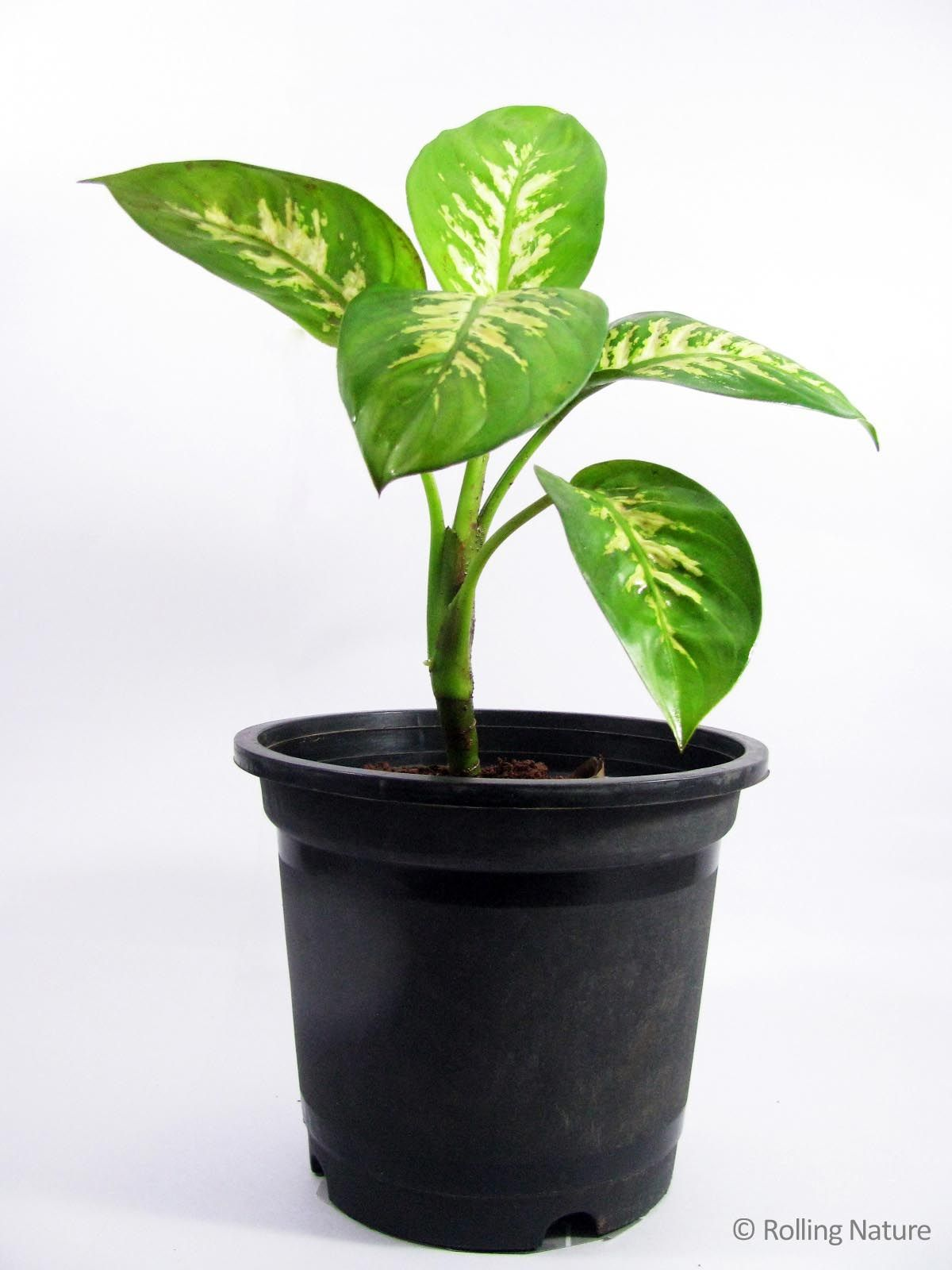 Large Leaf Houseplant Dieffenbachia A Broad Leaved Foliage Plant With Thick