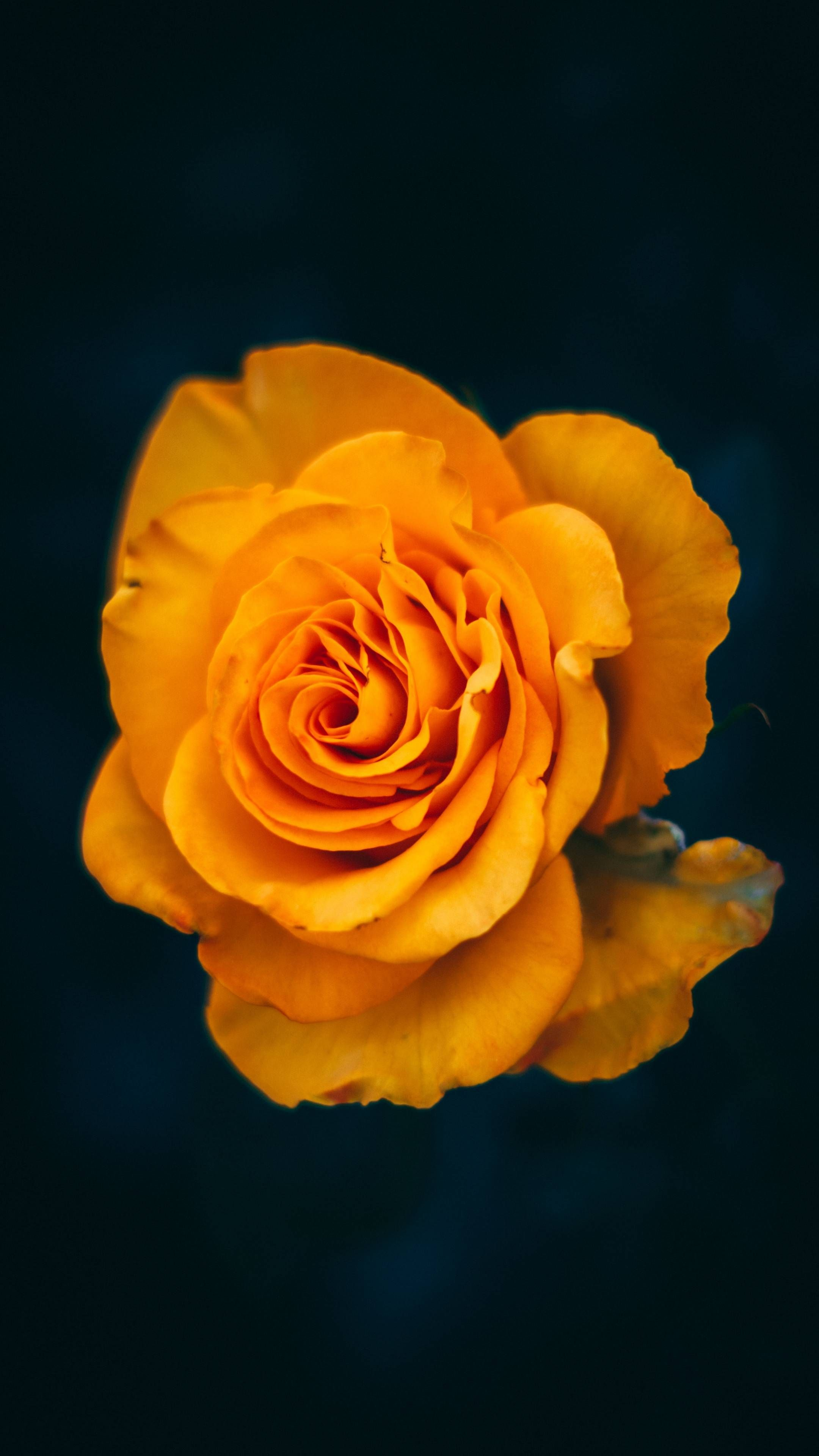 Download Iphone Xs Iphone Xs Max Iphone Xr Hd Wallpapers Rose Flower Yellow Bloom Closeup Flowers Rose Flower Rose Wallpaper
