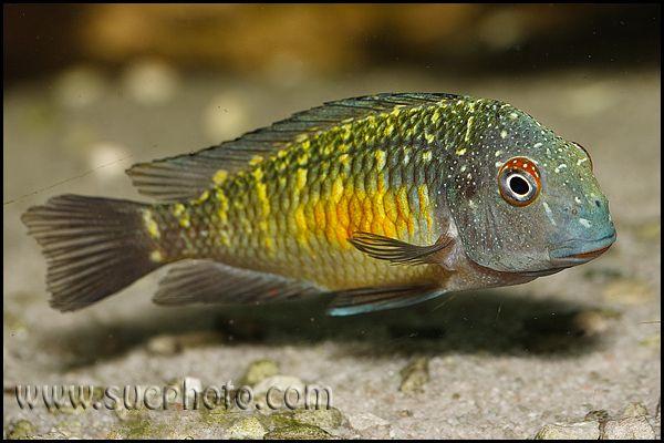 Tropheus Kalambo African Cichlids Aquarium Fish Freshwater Fish