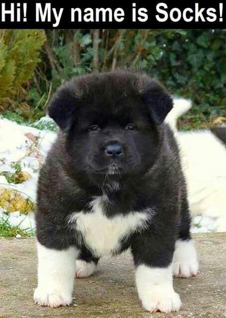 Simple Akita Chubby Adorable Dog - bbf90922e57400d7ba7472769df77775  Picture_613525  .jpg