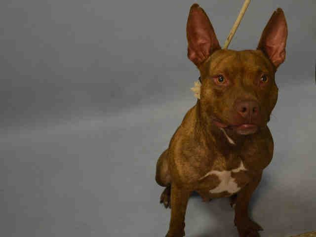 SAFE 9-24-2015 by Pound Hounds Res-Q --- Brooklyn Center MUNCHY – A1051815  MALE, BROWN, PIT BULL MIX, 1 yr STRAY – STRAY WAIT, NO HOLD Reason STRAY Intake condition EXAM REQ Intake Date 09/17/2015