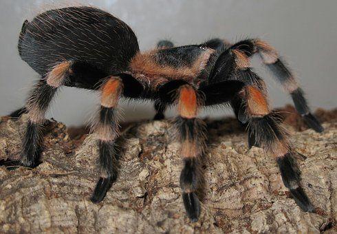 Tarantula, Brachypelma Smith
