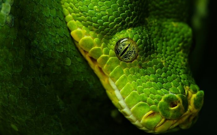 nature, reptiles, animals, wildlife, snake, wallpaper