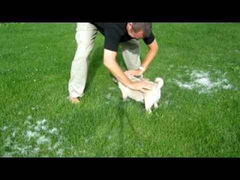 Do Pugs Shed Amazing Shedding Pug Dog Hair Removal Technique Do