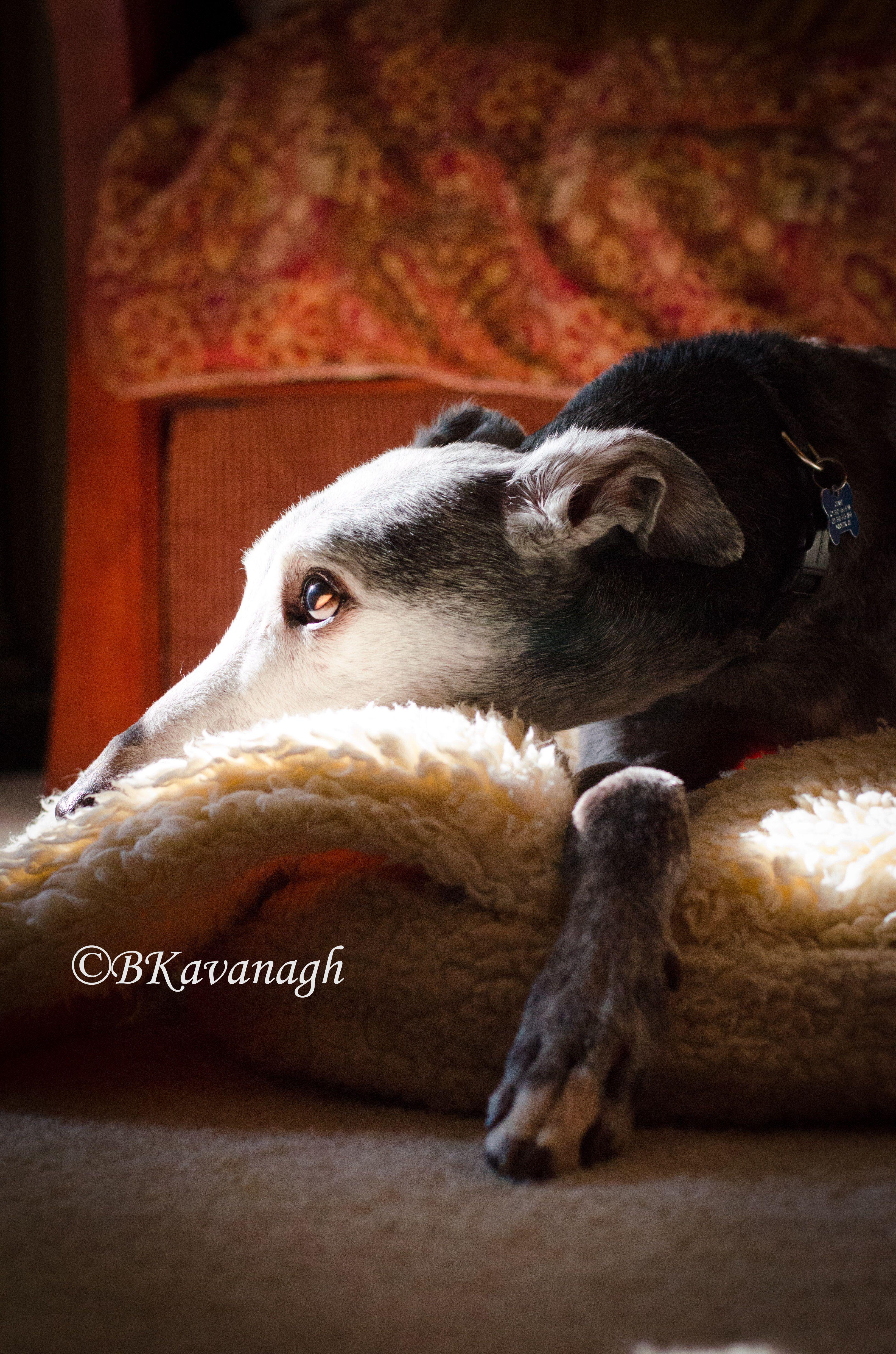 Memories Of Chase Ef Pete Memory Ohio Greyhound Adoption Blog Greyhound Adoption Greyhound Grey Hound Dog