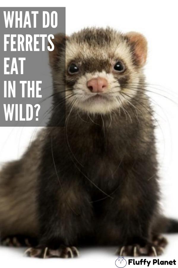 What Do Ferrets Eat In The Wild Ferret What Do Ferrets Eat Animals Wild
