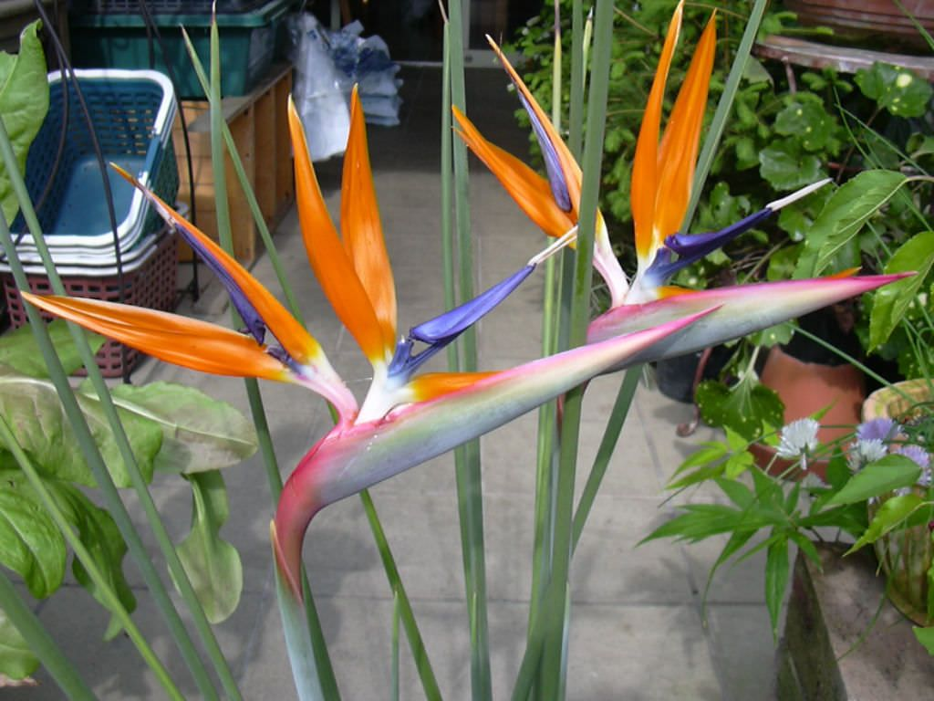 Strelitzia Juncea World Of Flowering Plants Planting Flowers Unusual Plants Birds Of Paradise