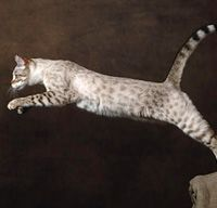 Cat Breed Profile Munchkin Cat Breeds Bengal Cat Personality