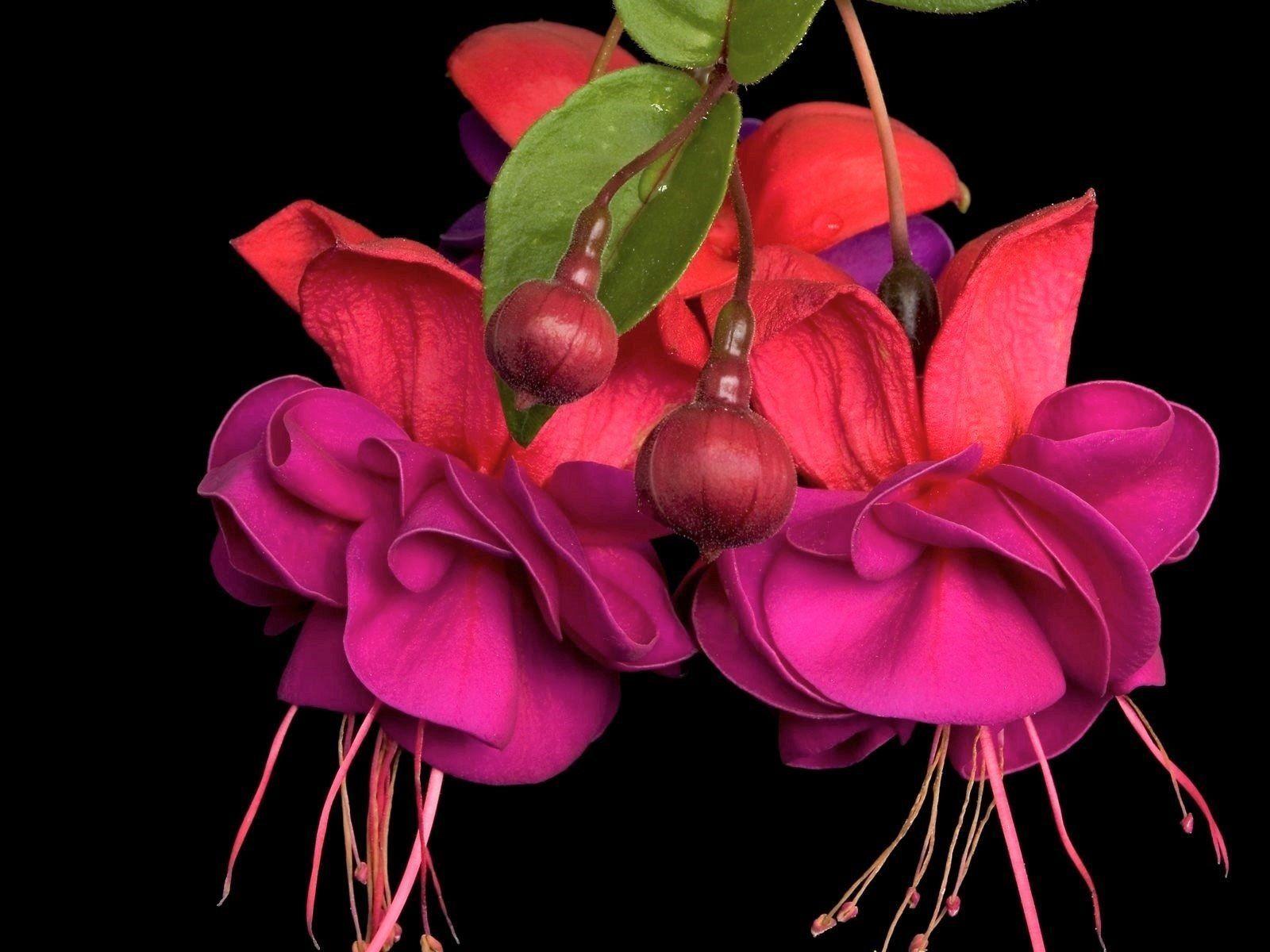 Pretty Flower Earth Fuchsia Flowers Flower Purple Flower Wallpaper Earth Flower Flowers Fuchsia Pre In 2020 Purple Flowers Wallpaper Fuchsia Flowers Pretty Flowers
