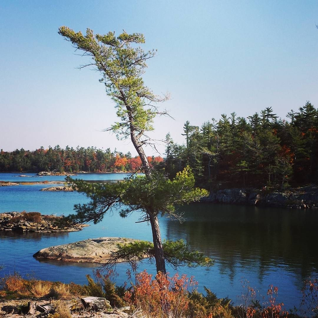 Windswept pine on Georgian Bay.