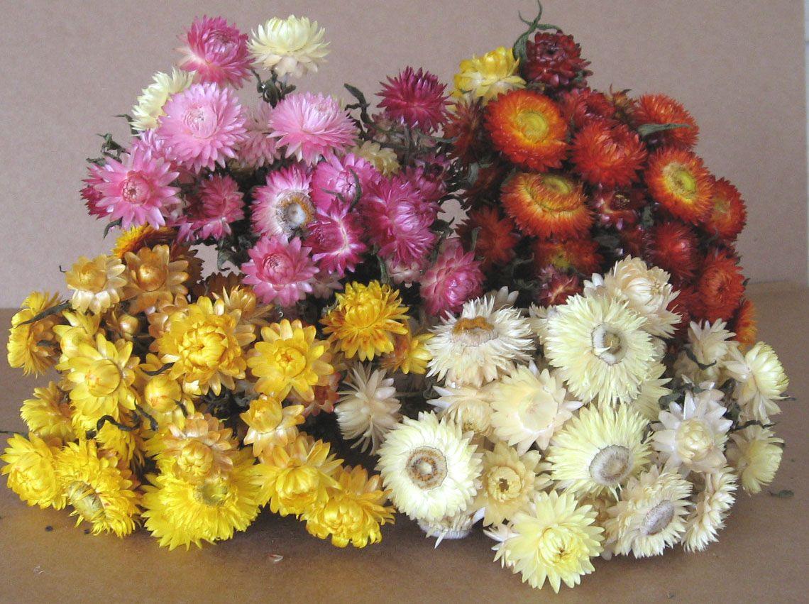 Paper Daisiesstraw Flowerseverlasting Daisies Flower Pinterest