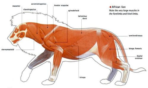 Anatomy Of A Male Lion Animal Illustrations Pinterest Lion
