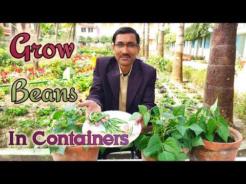 77 Grow Huge Number Of Beans In Containers Most Easily 400 x 300