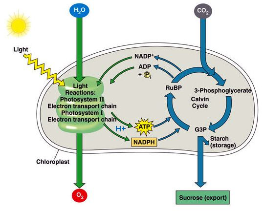 Photosynthesis Light Reaction And Calvin Cycle