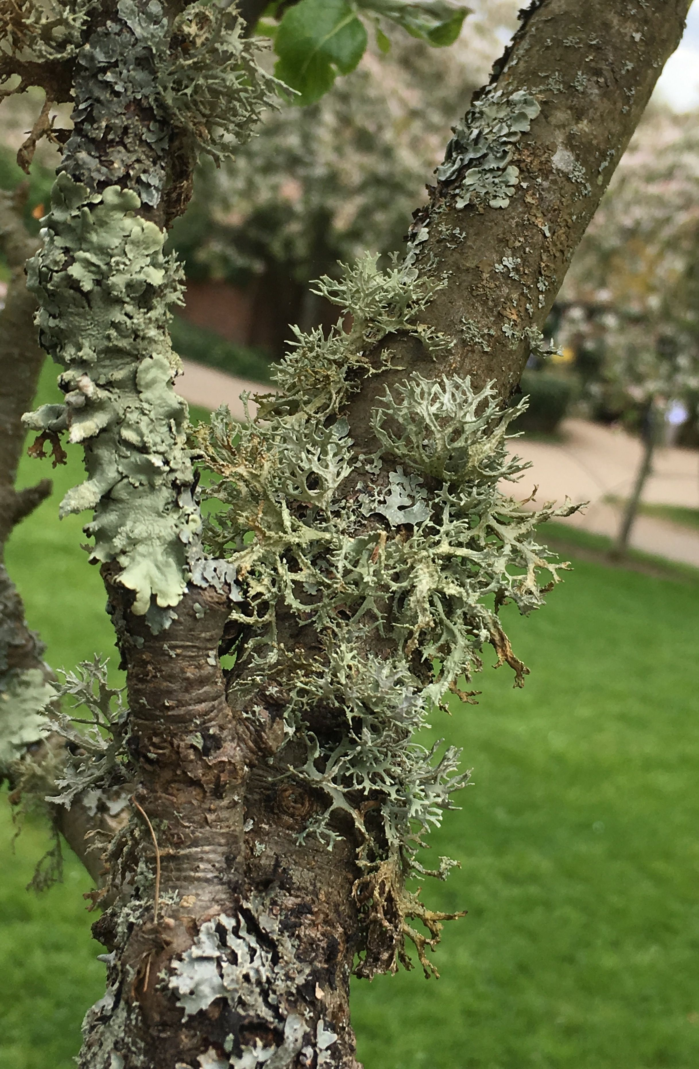 Fruit Trees With Lichens West Sussex Fruit Trees Fruit Lichen