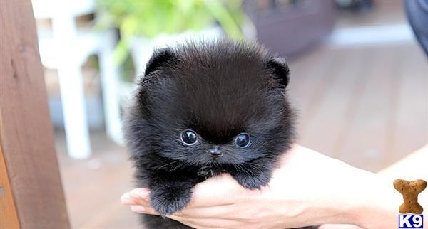 teacup pomeranian The cutest pom I have ever seen! | Loves ...