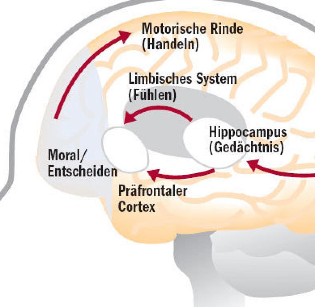 Gehirn, Aufbau und Funktion; Biologiekurs Klasse 12 ...