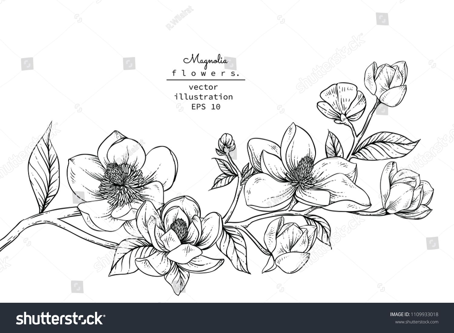 Sketch Floral Botany Collection Magnolia Flower Drawings Black And White With Line Art On White Backgrounds Han Flower Drawing Floral Botany Magnolia Flower
