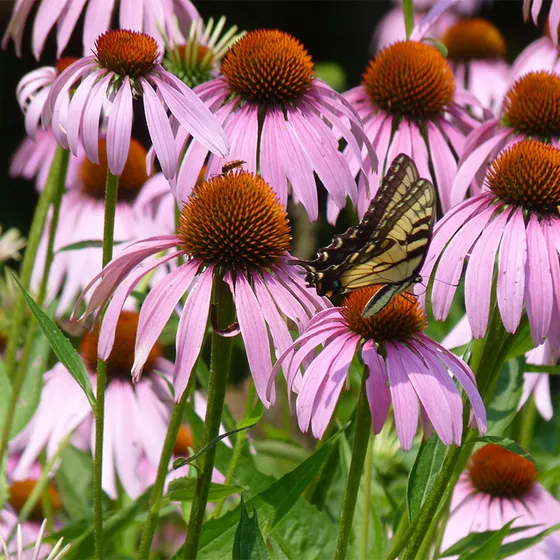 Purple Coneflower Seeds Echinacea In 2020 Echinacea Purpurea Wildflower Seeds Echinacea