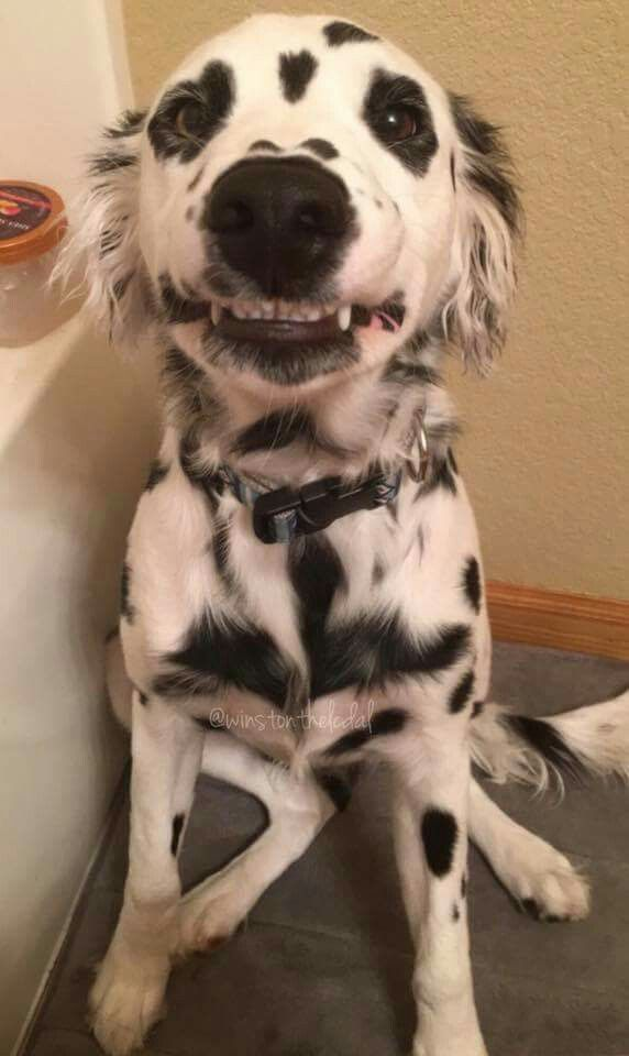 Long Haired Dalmatian Winston From Dogspotting Society Watermark In Picture Dalmatian Puppy Puppies Dalmatian