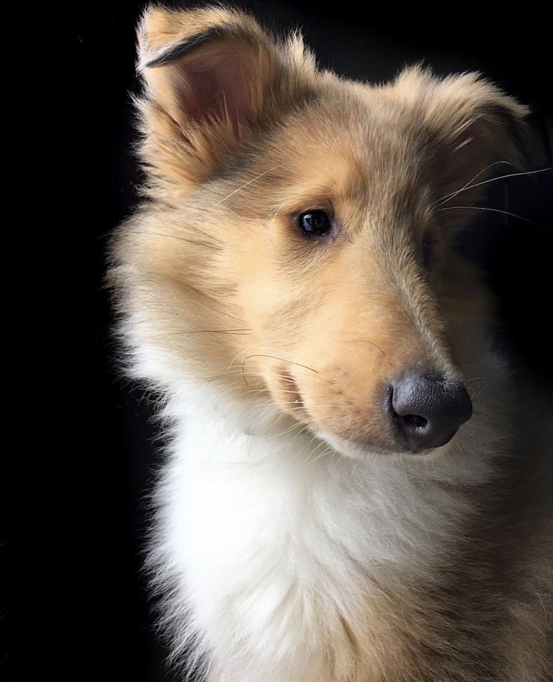 Winnie. Sable Merle Rough Collie, 2 months old. (With
