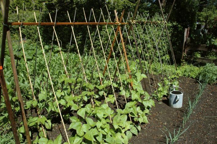 Stangenbohnen Erfolgreich Anbauen - So Klappt's! Erbsen Pflanzen Garten Pflege Tipps
