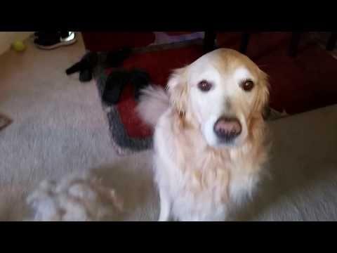 685 Golden Retriever Shedding Hair Using Furminator On My Dog