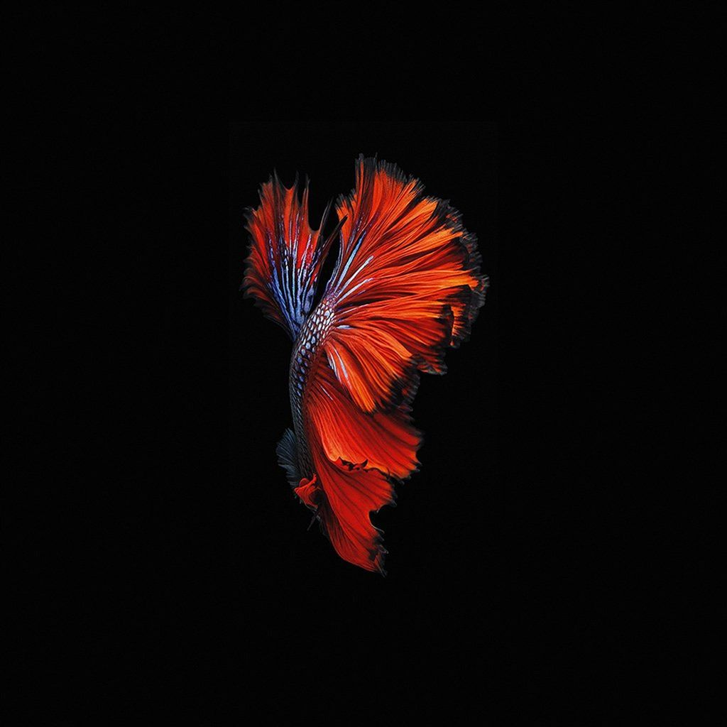 Apple Ios9 Fish Live Background Dark Red Ipad Air Wallpaper Download Iphone Wallpapers Ipad Wallpapers One Stop Download Ikan Cupang Cara Menggambar Gambar