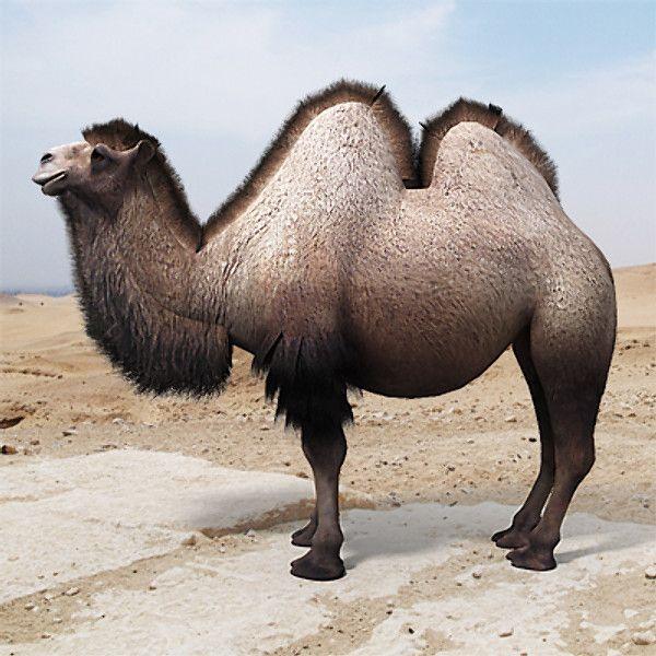 3d Model Bactrian Camel Humps