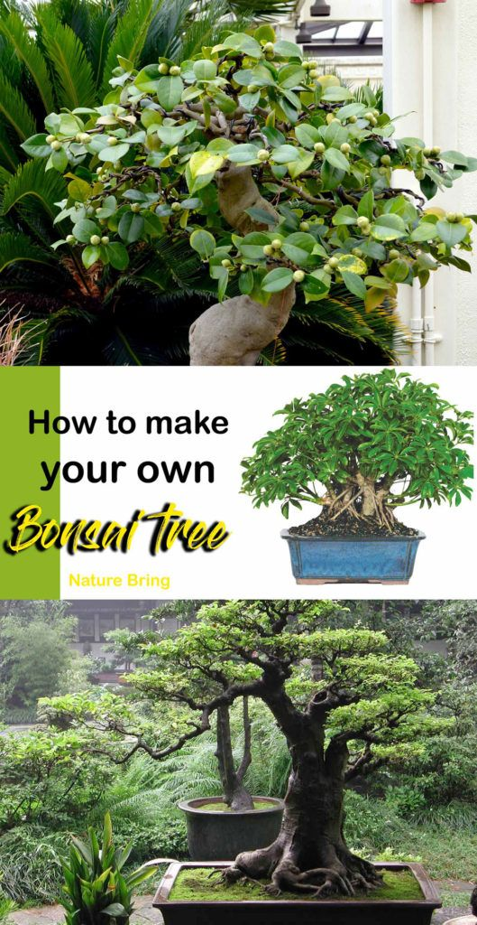 How to grow Bonsai tree | How to make your Bonsai plant - NatureBring #bonsaiplants