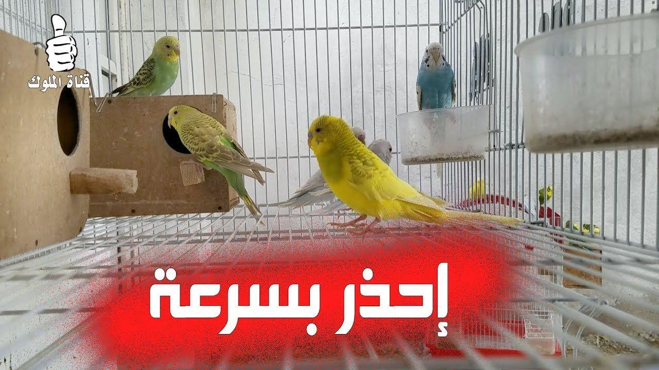 اخطاء فادحة ظهرت في تربية طيور البادجي في جماعات احذر منها باسرع وقت Budgies Parrot