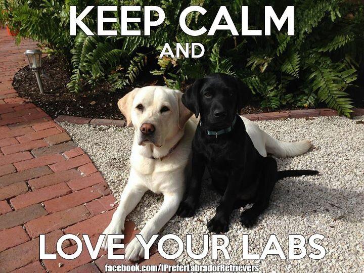 Keep calm and love black labs