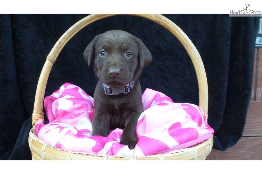 Labrador Retriever Puppy For Sale Near San Francisco Bay Area